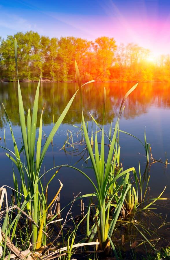藤茎新芽在湖 免版税图库摄影
