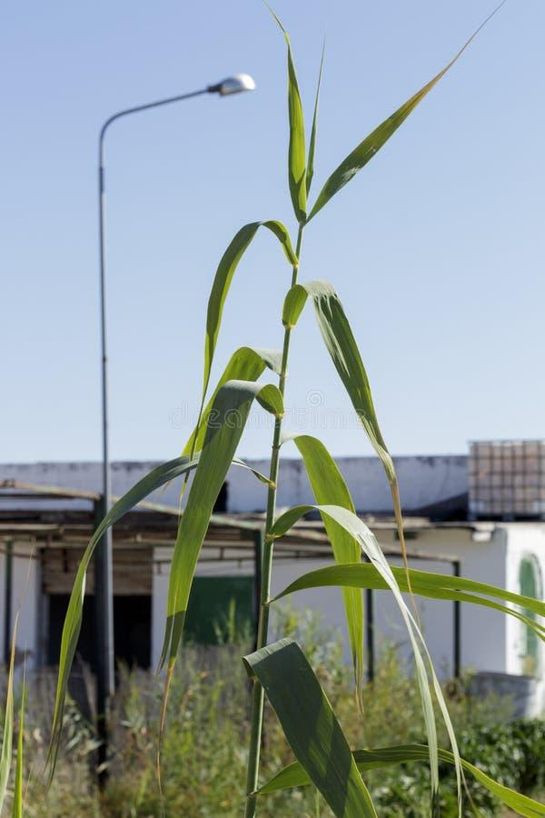 藤茎细节在一个白色农村村庄前面的 免版税库存图片