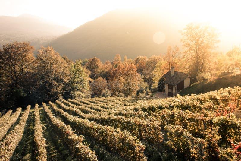 藤行在一个葡萄园里在提契诺州 免版税库存图片