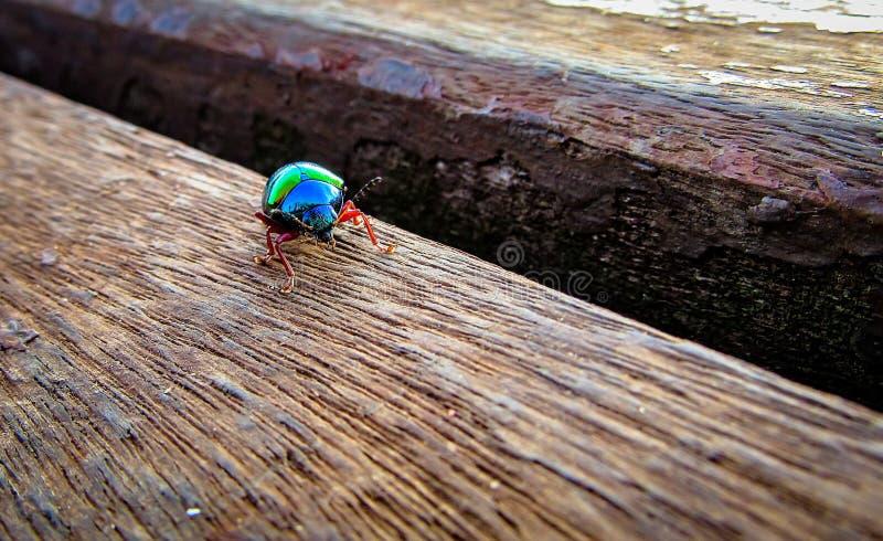 藤食叶害虫甲虫,亦称绿色甲虫Iphimeis div 免版税图库摄影