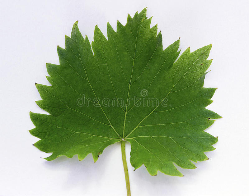 藤leaf_frontside 免版税图库摄影