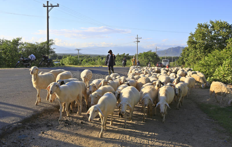 藩朗,越南, 2017年3月20日:有绵羊他的牧群的人  免版税库存图片