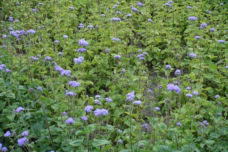 藿香蓟属houstonianum许多紫罗兰色花  免版税库存图片