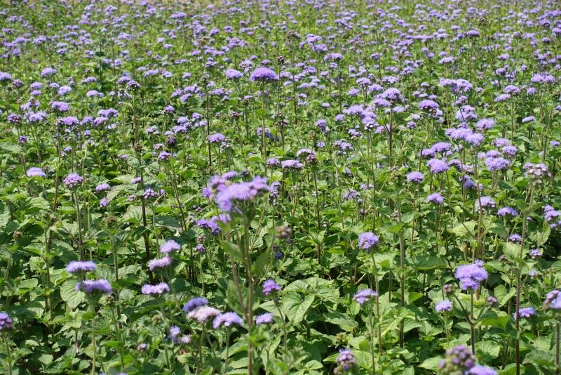 藿香蓟属houstonianum许多紫罗兰色花  库存照片
