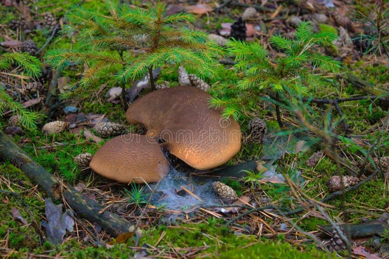 蘑菇和蜘蛛网 免版税图库摄影
