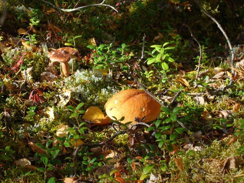 蘑菇在秋天森林里 库存图片
