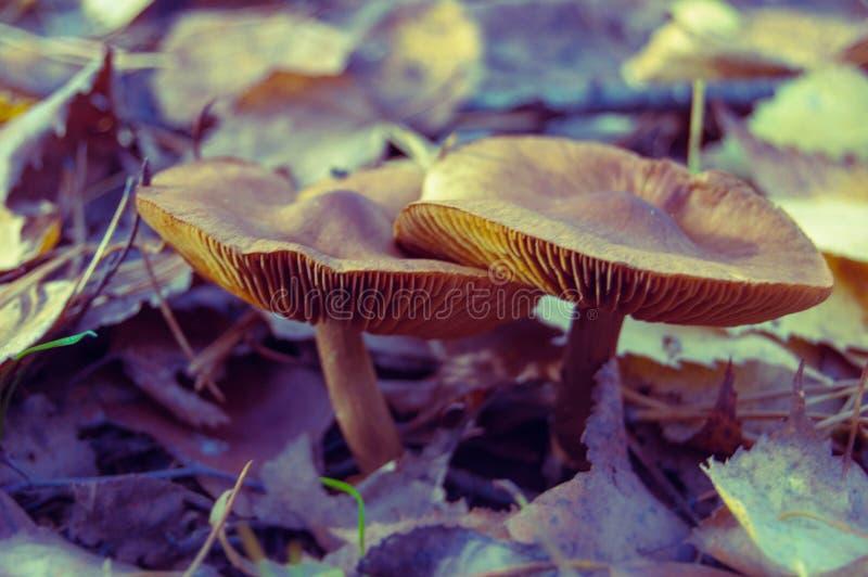 蘑菇家庭在秋天凋枯了叶子 库存照片
