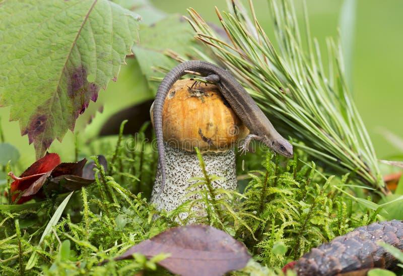 蘑菇橙色盖帽牛肝菌蕈类和蜥蜴 库存照片