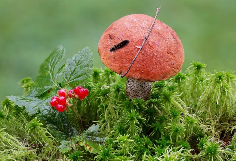 蘑菇橙色盖帽牛肝菌蕈类和毛虫 库存照片