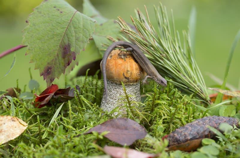 蘑菇橙色盖帽牛肝菌蕈类和蜥蜴 库存图片
