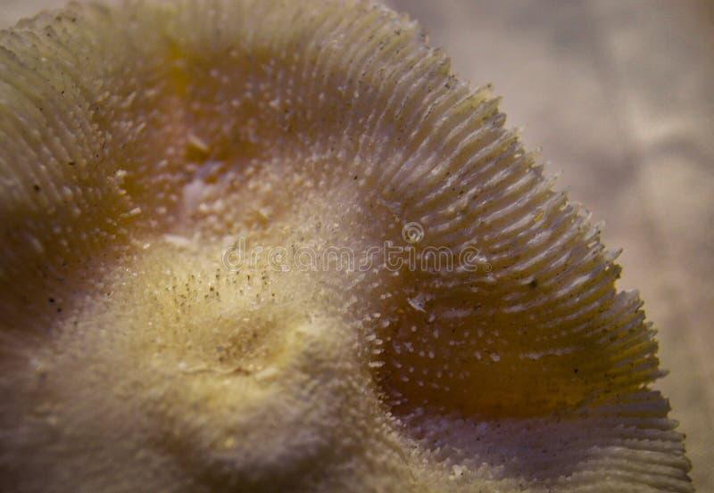 蘑菇珊瑚Fungiidae 库存图片