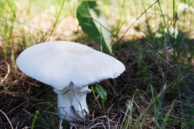 蘑菇白色 图库摄影