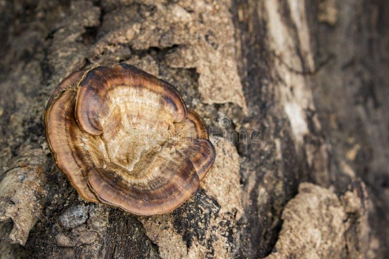 蘑菇的图象在木材的 库存图片