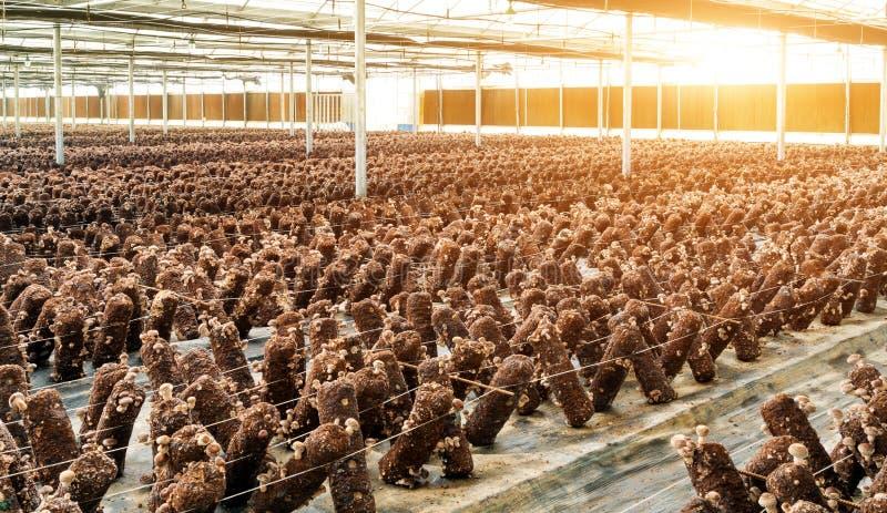 蘑菇繁殖的基地 免版税库存照片