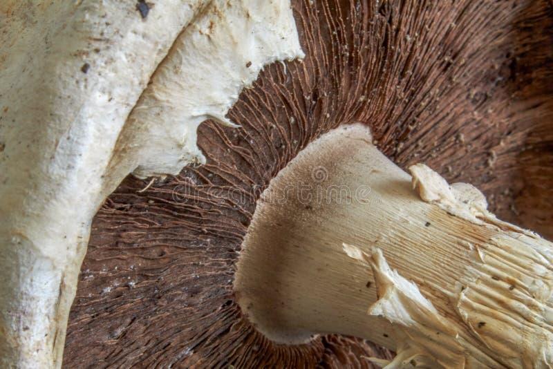 蘑菇落叶松蕈arvensis看了在帽子下 ?? 库存图片
