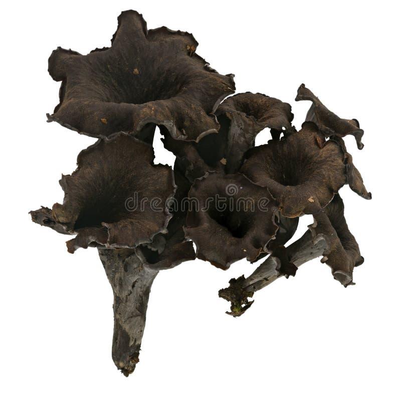 黑黄蘑菇蘑菇,被隔绝- craterellus cornucopioides 库存照片