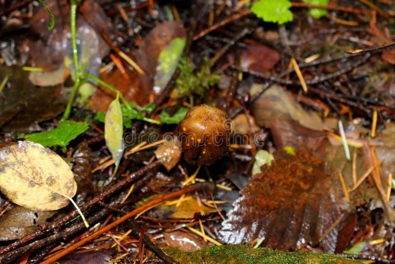 蘑菇迷幻药Hallucingenic蘑菇,刘易斯维尔,WA,美国 免版税图库摄影