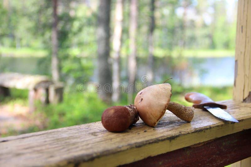 蘑菇采摘在芬兰 免版税图库摄影