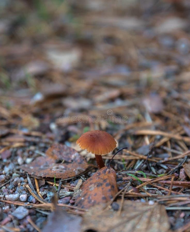 蘑菇采摘 收集蘑菇在森林里在秋天本质上 不相似的蘑菇增长 红茹属emetica,蘑菇机智 图库摄影