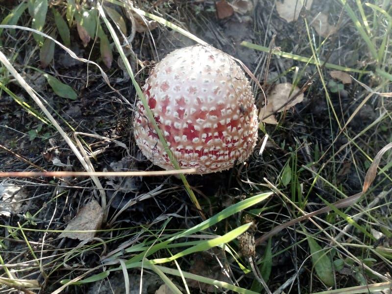 蘑菇,蘑菇,毒 库存图片