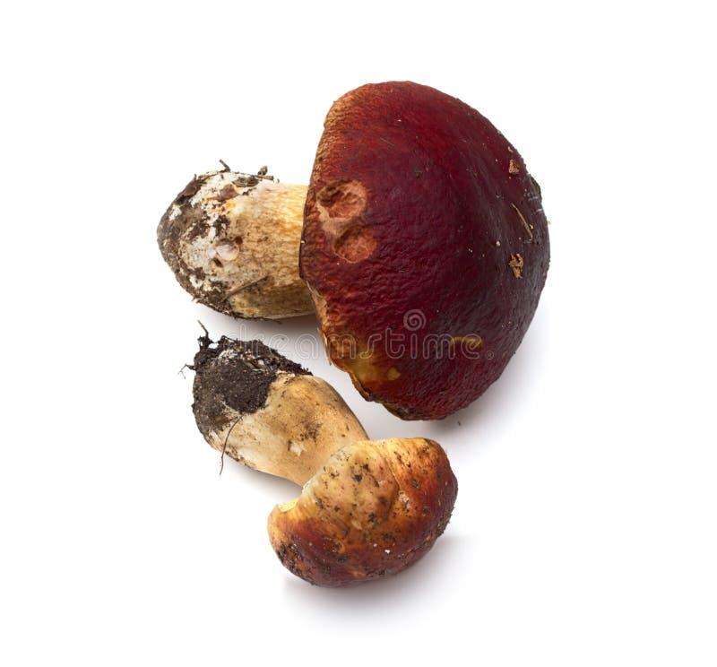 蘑菇(可食的牛肝菌蕈类) -国王牛肝菌,便士小圆面包, porcini,等概率圆 库存照片