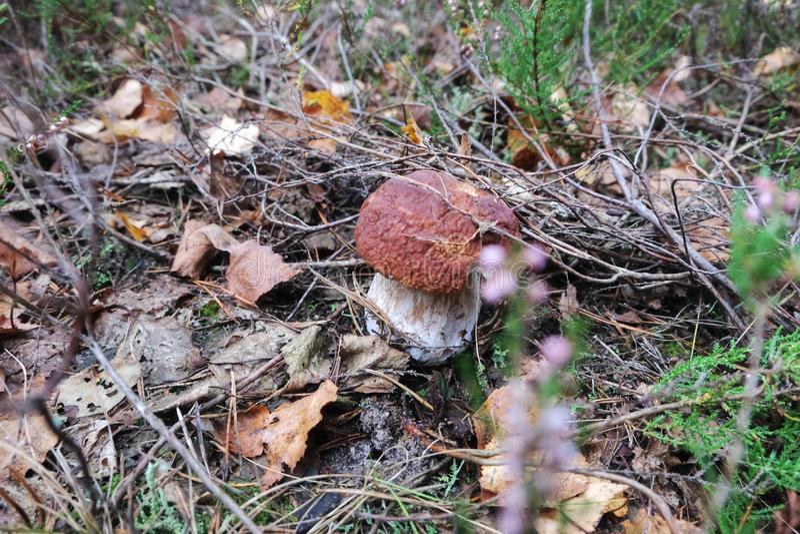 蘑菇 牛肝菌蕈类在森林里 免版税图库摄影