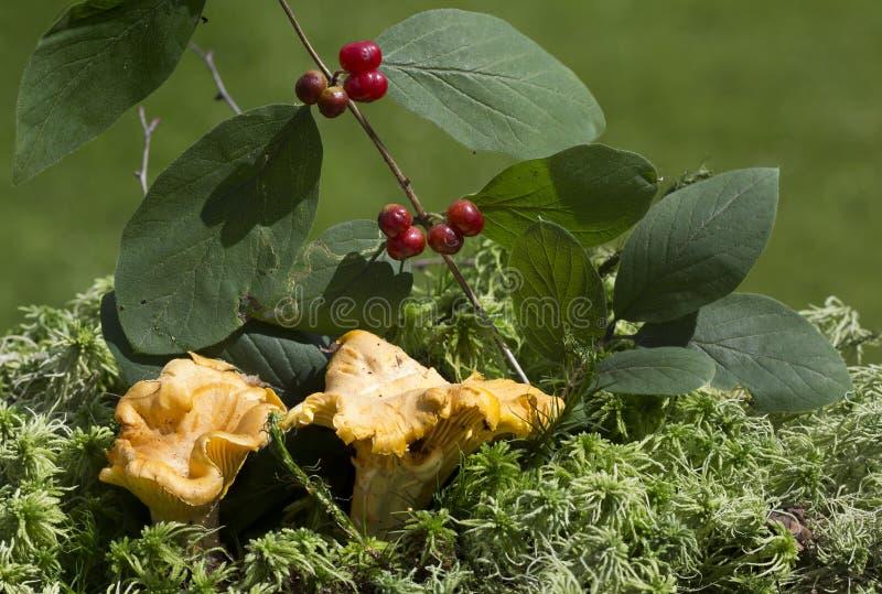 蘑菇黄蘑菇 库存图片