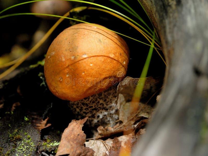 蘑菇leccinum 免版税库存照片