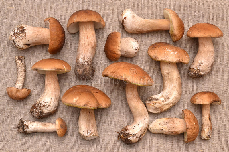 蘑菇porcini 在亚麻布的蘑菇 组porcini蘑菇 自然颜色和纹理 库存照片