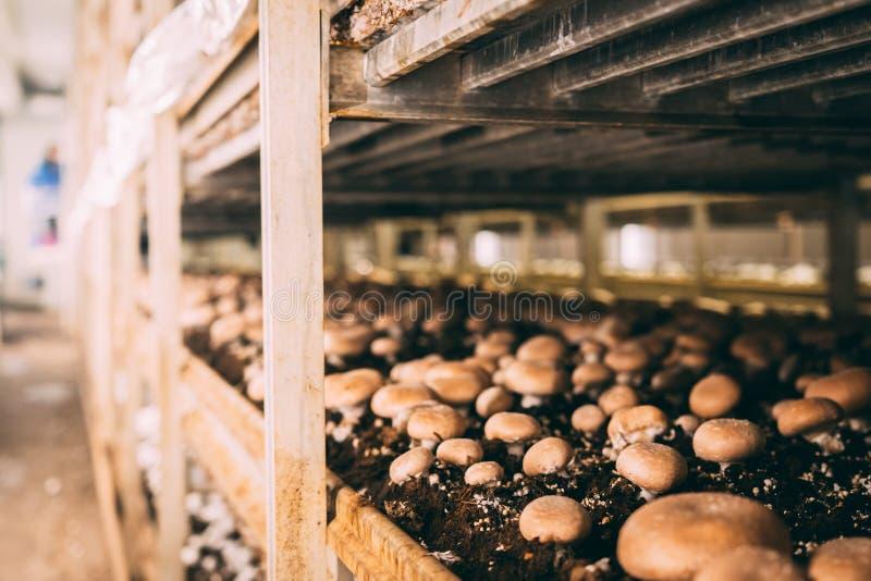 蘑菇Portobello和蘑菇工厂 图库摄影