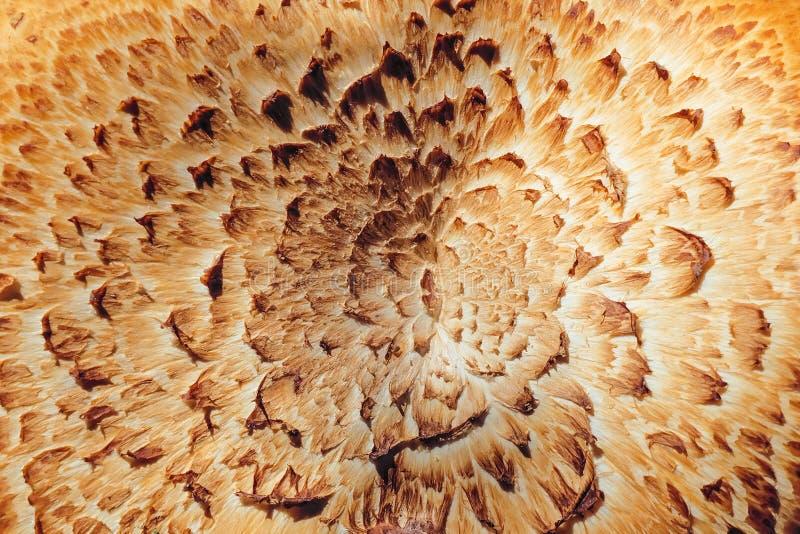 蘑菇Sarcodon的纹理 免版税库存图片