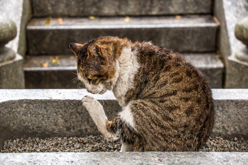 虎一般猫抓 库存照片