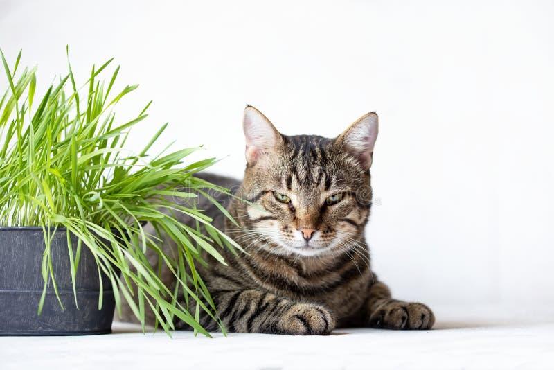 虎斑猫在新鲜的绿草附近说谎 ?? 动物的有用的食物 库存图片