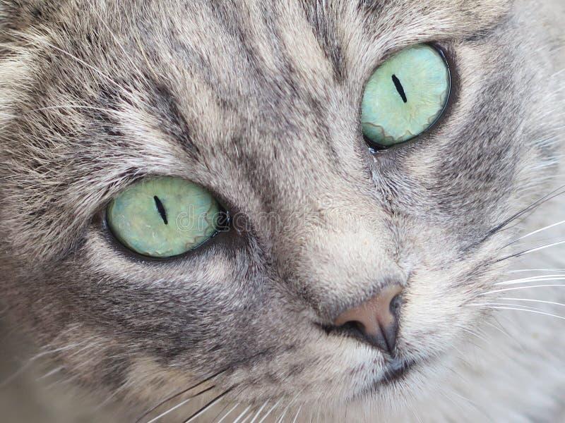 虎斑猫的面孔 免版税库存照片