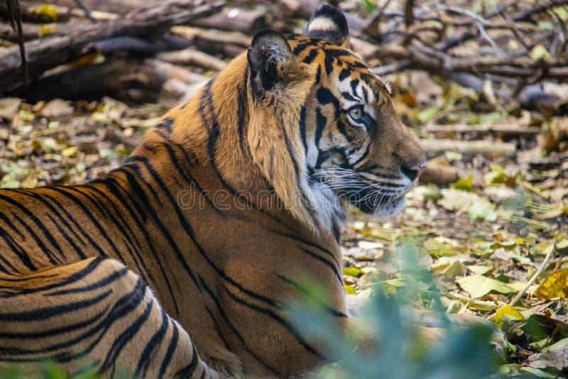 虎滩坐在他的封入物的Sumatran老虎 库存图片