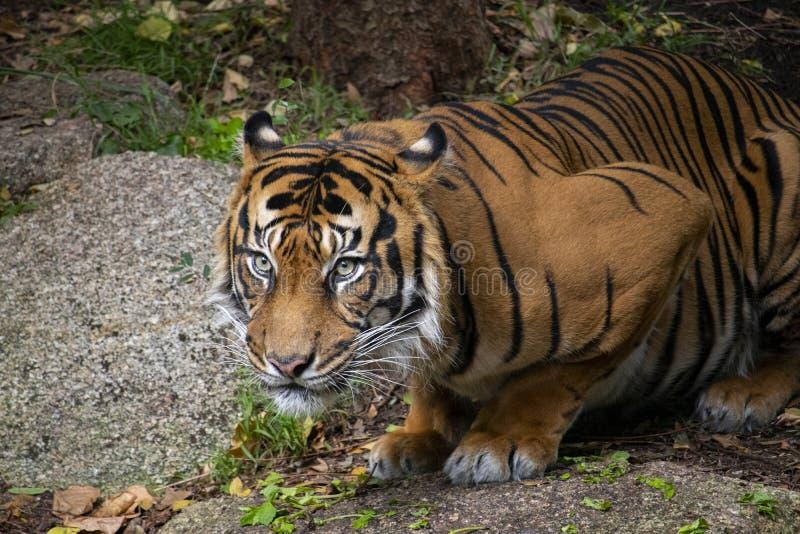 虎滩坐在他的封入物的Sumatran老虎 图库摄影