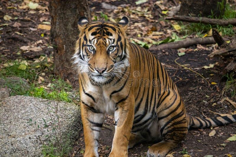 虎滩坐在他的封入物的Sumatran老虎 免版税库存照片
