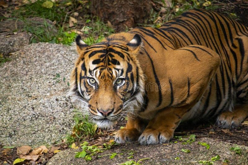 虎滩坐在他的封入物的Sumatran老虎 库存照片
