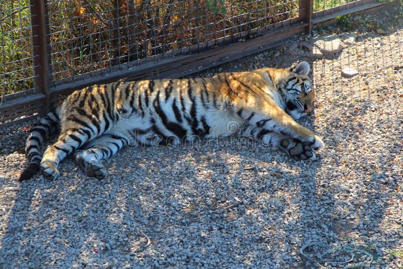 虎犊在地面上睡觉 图库摄影