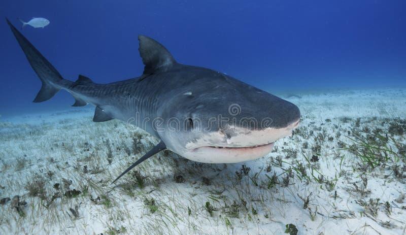 虎鲨大巴哈马岛,巴哈马 免版税库存照片