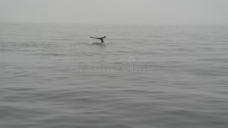 虎鲸的尾巴 免版税图库摄影