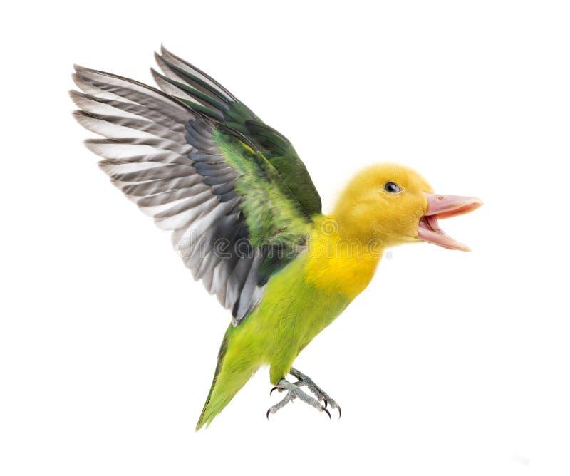 虚构物用的鸭子和再飞行黄色抓住衣领口的爱情鸟 免版税库存照片