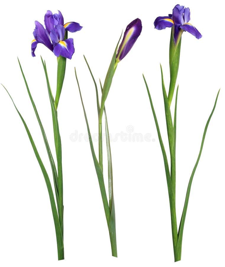 虹膜紫色 库存图片