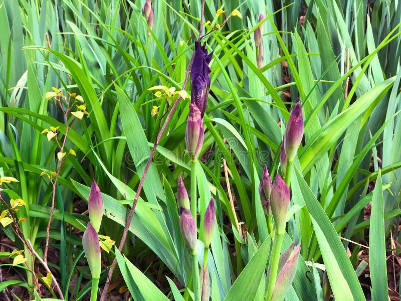 虹膜美丽的花  在绿色背景的美丽的虹膜 庭院绽放的虹膜植物在春天 库存照片