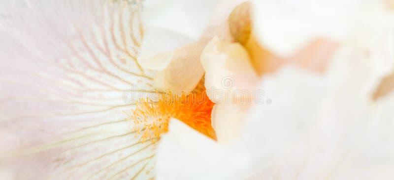虹膜花特写镜头,花卉背景的软的桃红色瓣 E 库存照片