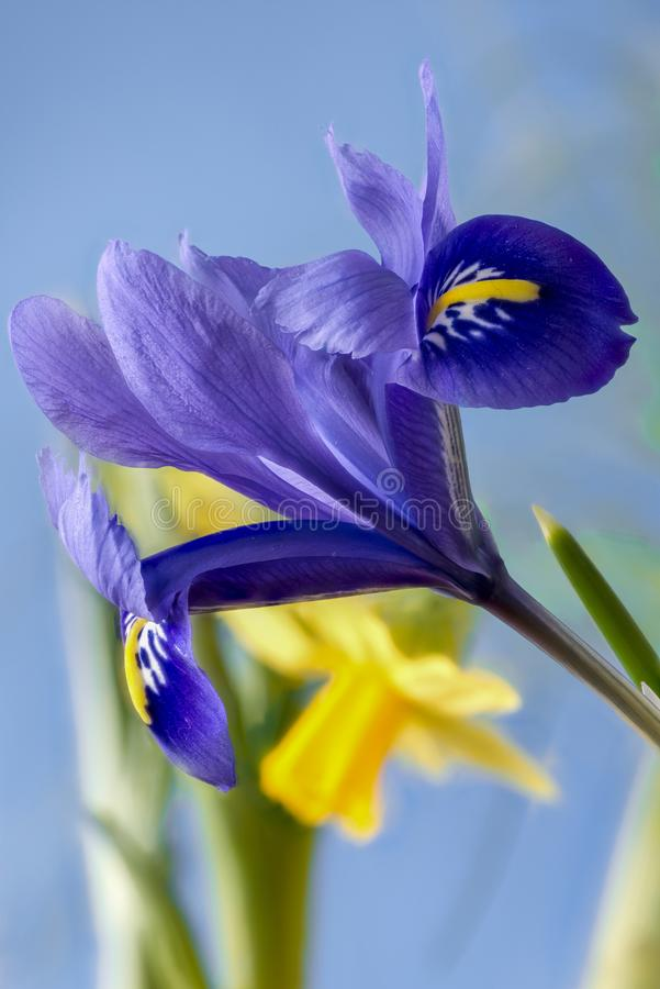 虹膜germanica和黄水仙 免版税库存照片