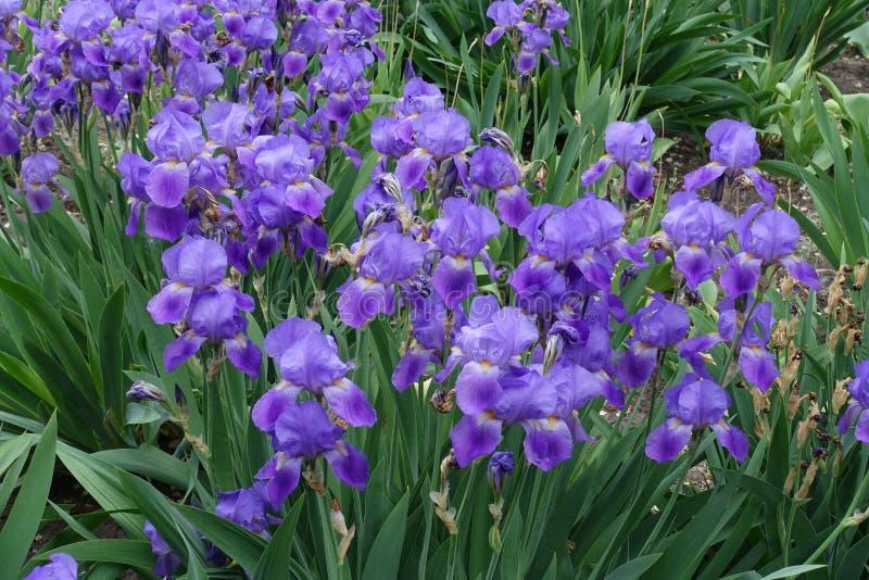 虹膜germanica许多紫罗兰色花  库存图片