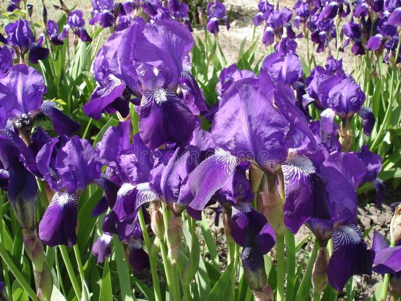 虹膜germanica紫罗兰色花'紫色的火焰' 库存图片
