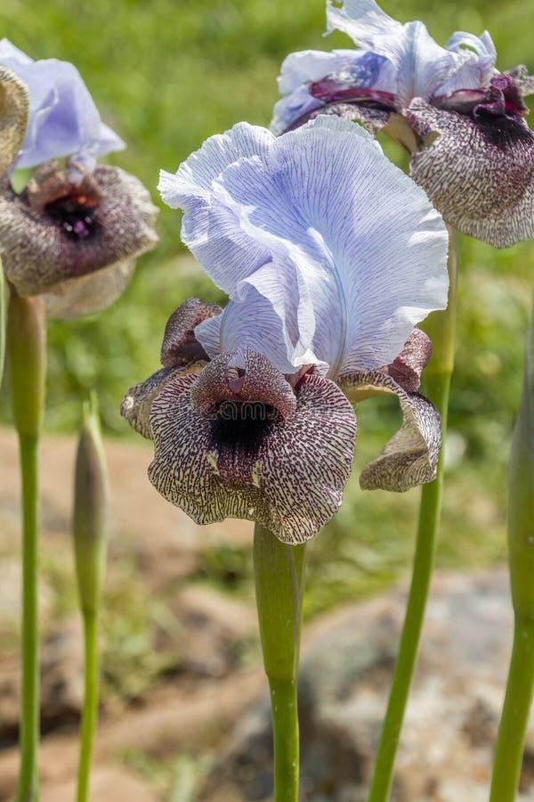 虹膜Hermona,戈兰在Oncocyclus部分使从虹膜类的一朵野花现虹彩,从戈兰的牧场地和草甸 免版税库存图片