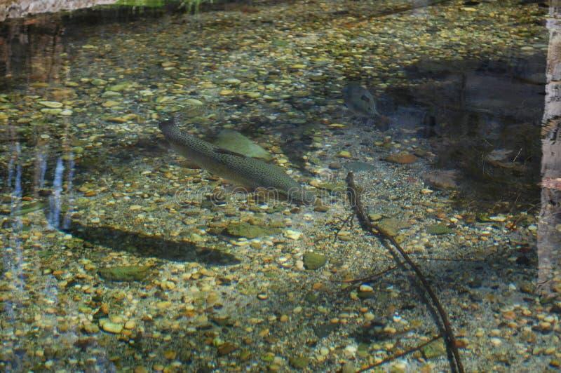虹鳟在水中 库存图片